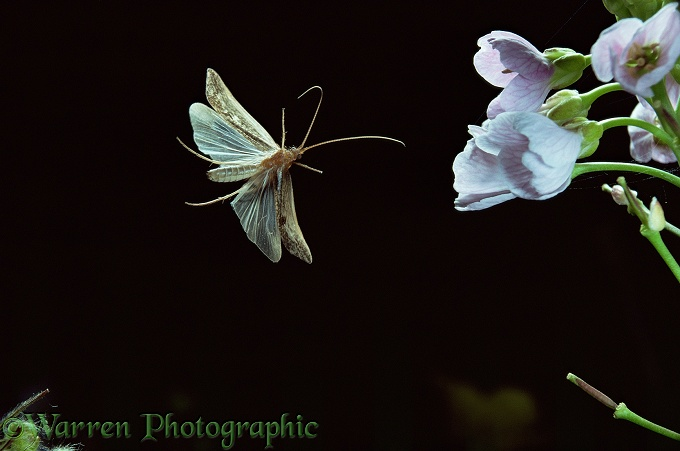 Caddis fly (Limnephilus sp) flying to Cuckoo flowers at night