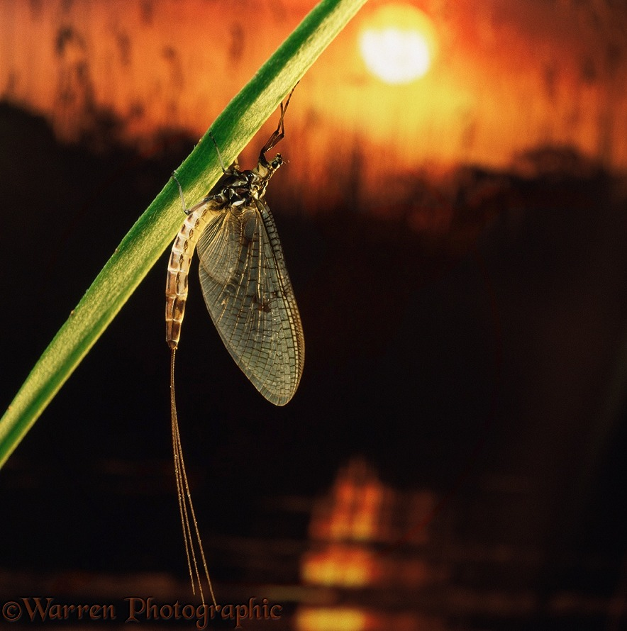 Mayfly (Ephemerica danica) on plant stem