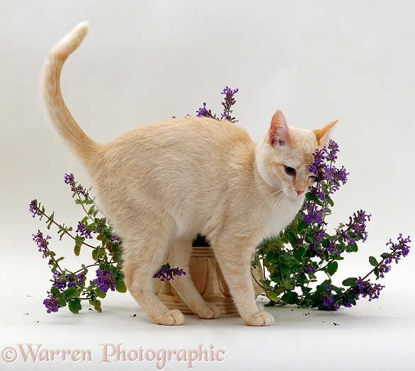 Cat rubbing on flowering catmint