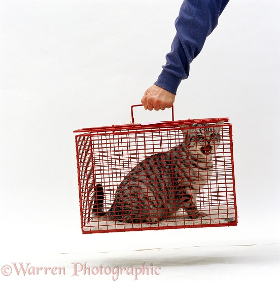 Silver spotted cat, Aster, in a cat-carrier, white background