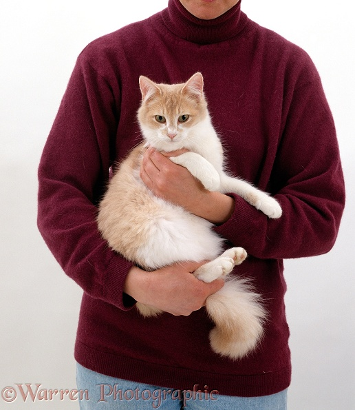 Cream-and-white, semi longhair female cat, Cream, being held by animal handler in the correct position, white background