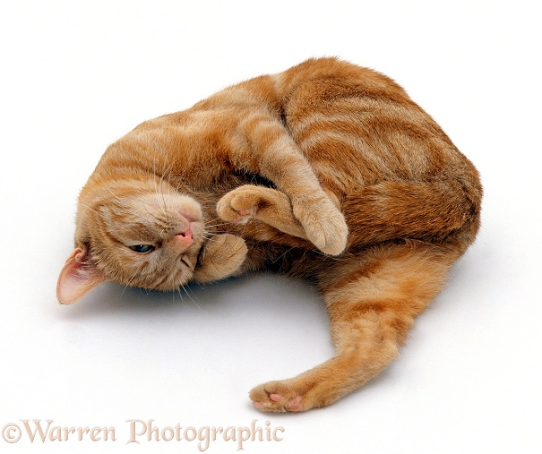 Ginger tabby female cat, Lucky, in oestrus / on heat, rolling around seductively, white background