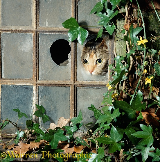 Domestic Cat (Felis catus) Tabby tortoiseshell looking out of a broken pane in an ivy-grown window of a deserted Victorian house