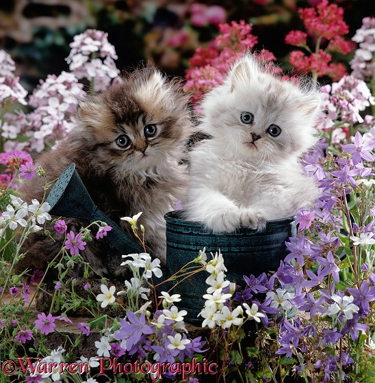 Gold-shaded and Silver-shaded Persian kittens, 7 weeks old, in watering can on a dry-stone wall surrounded by flowers