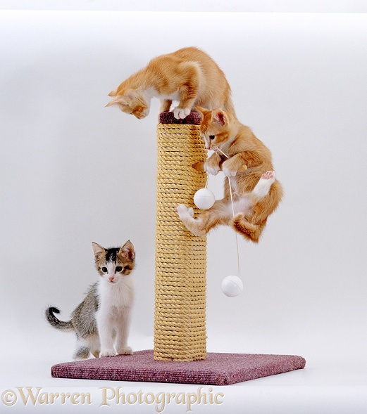 Kittens playing on a scratch post, white background