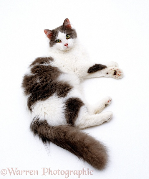 Blue-and-white Persian-cross cat, Daphnis, lying down, white background