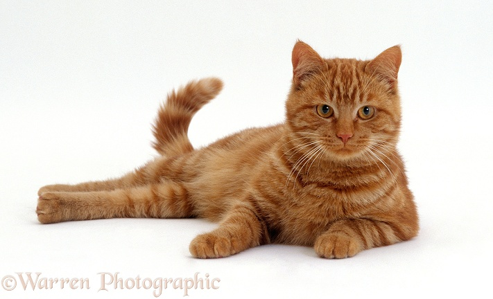 Red tabby male cat, Georgie-porgie, lying down with his head up, white background