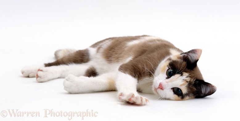 Chocolate-tortoiseshell-and-white cat, Cookie, 5 months old, lying down, white background