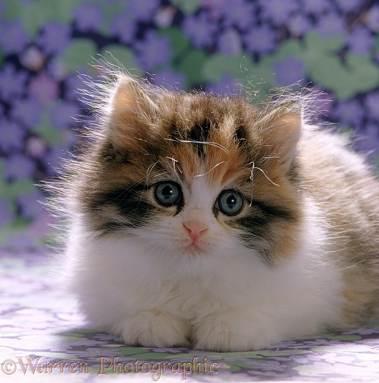 Cute fluffy tortoiseshell-and-white kitten, 8 weeks old, on flowery background