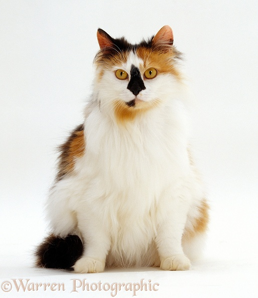 Tortoiseshell-and-white female cat, Maudi Blacknose, sitting, white background