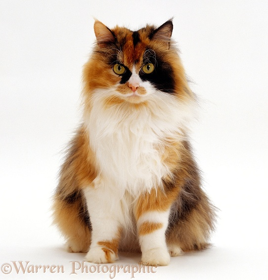 Tortoiseshell-and-white female cat, Millie Whitenose, sitting, white background