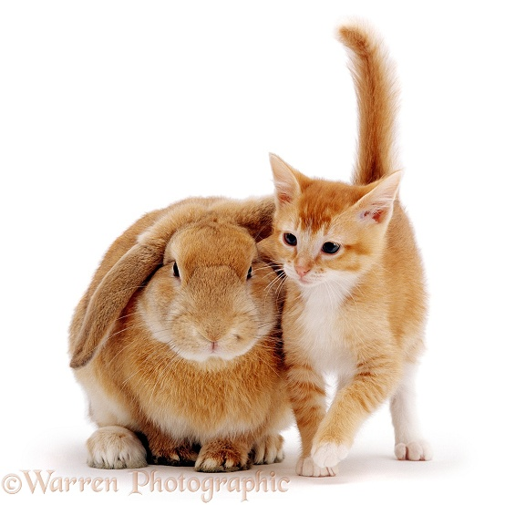 Ginger female kitten Sabrina with a young sandy lop rabbit, white background