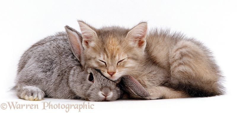 Silver tortoiseshell kitten with Silver dwarf Lop eared rabbit, white background