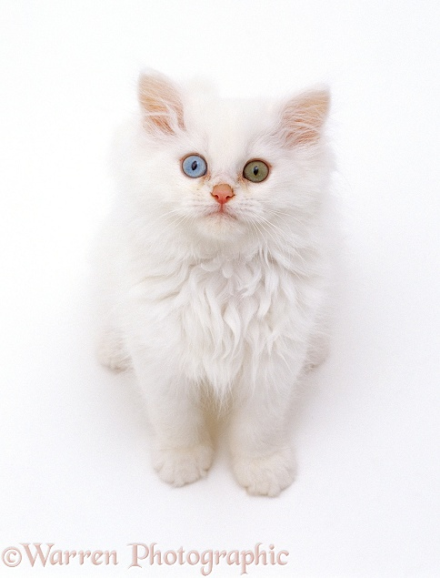 Odd-eyed white Persian-cross kitten looking up, white background