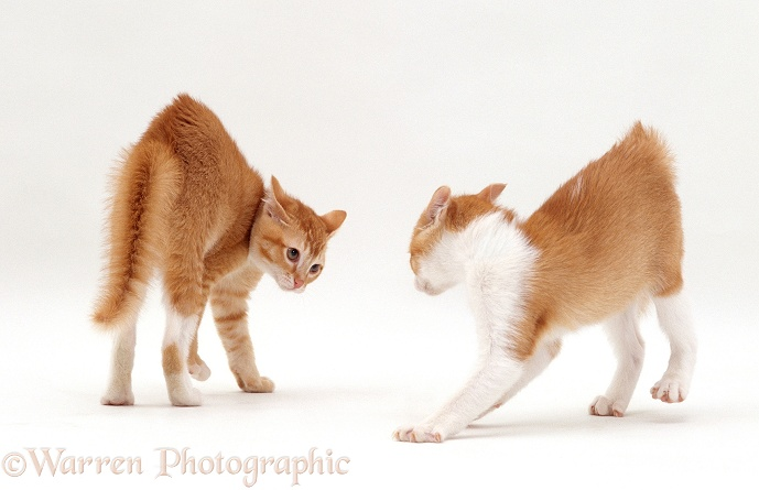 Ginger kittens with arched back in play posture, fur standing on end and staring at each other, white background
