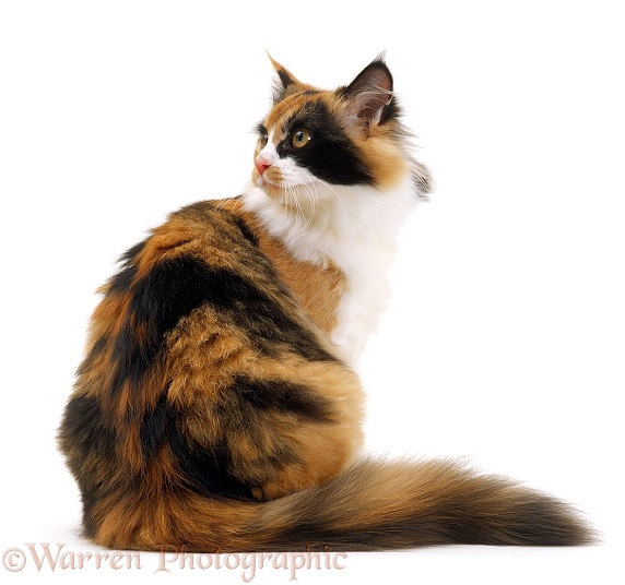 Tortoiseshell-and-white female cat, Millie Whitenose, sitting and looking over her shoulder, white background