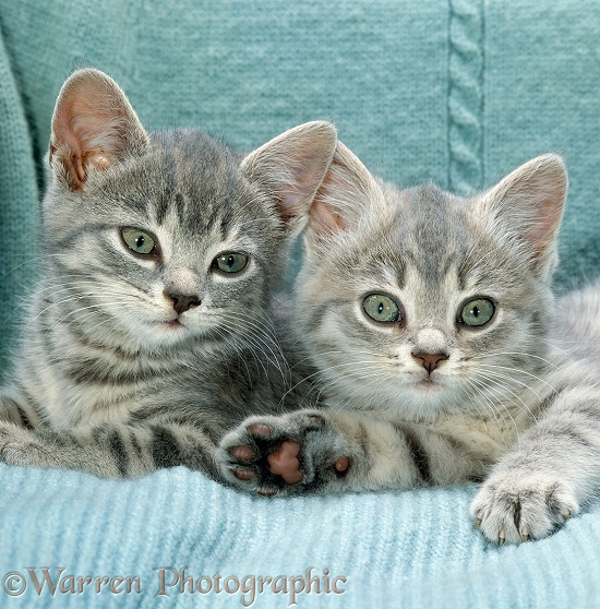Two blue tabby kittens, 8 weeks old