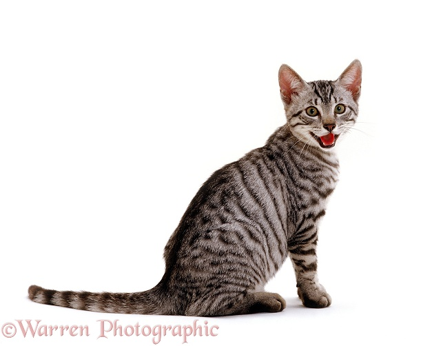 Silver Egyptian Mau-cross kitten, 14 weeks old, panting, white background