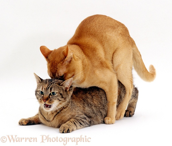 Red Burmese male cat Ozzie mating with female tabby Dainty, white background