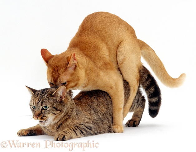 Red Burmese male cat Ozzie holds female tabby Dainty by the scruff of her neck while mating, mating sequence 5/7, white background