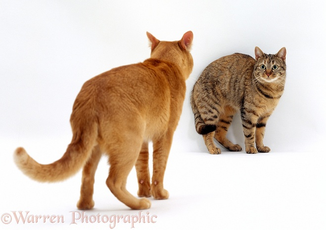 Red Burmese male cat, Ozzie, approaches female tabby cat, Dainty, showing aggression. Mating sequence 2/7, white background