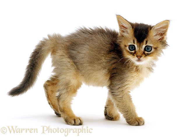 Usual Abyssinian kitten, 7 weeks old, white background