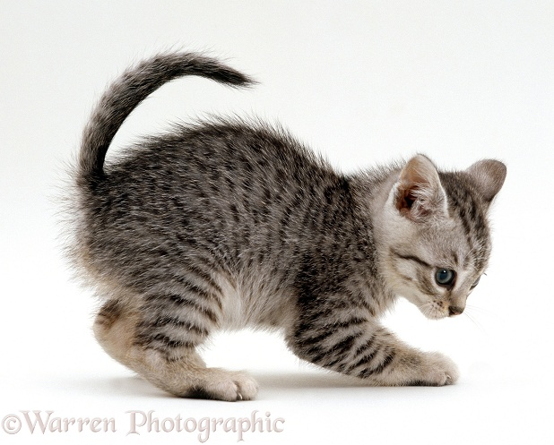 Playful silver spotted kitten, 7 weeks old, white background