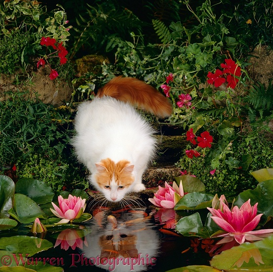 Turkish Van female cat Mussy watching goldfish in garden pond