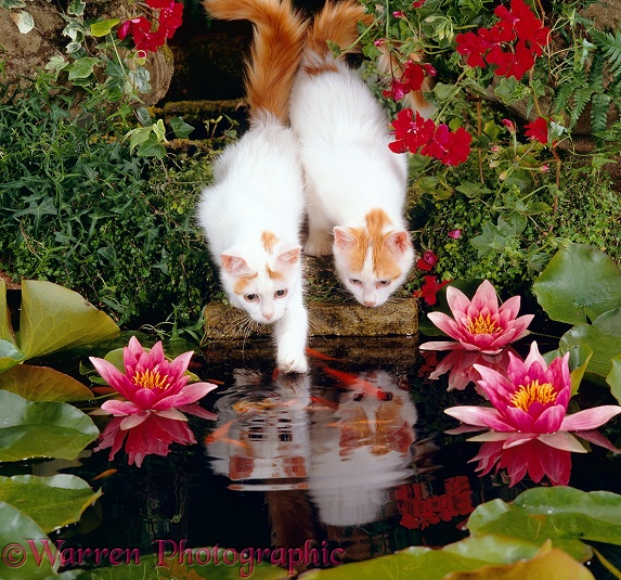 Two Turkish Van kittens watching and trying to catch goldfish in a garden pond
