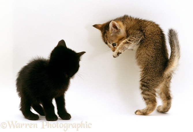Kittens play-fighting, white background