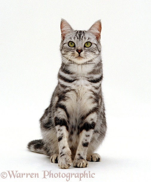 Silver tabby cat Zelda, white background