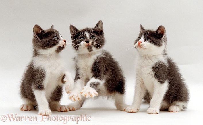 Three playful grey-and-white kittens, white background