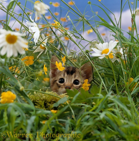 Tabby kitten stalking an insect in the long grass. Note - at the moment of pouncing the kitten's pupils dilate