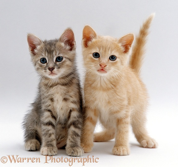 Tabby and Cream kittens, white background