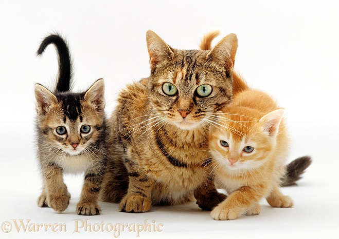 Tabby mother cat Dainty with 6-week-old kittens, white background