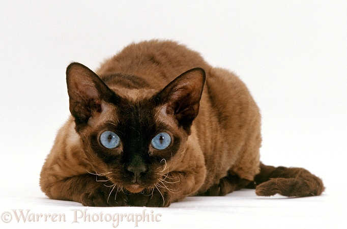 Seal-point Devon Siamese-Rex cat lying with chin on paws, white background