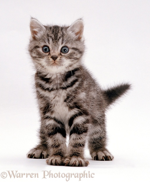 Silver tabby kitten, white background