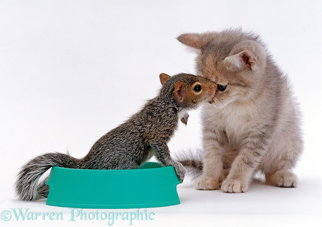 Baby Grey Squirrel sitting in grey kitten's food bowl and sniffing the kitten's face, white background