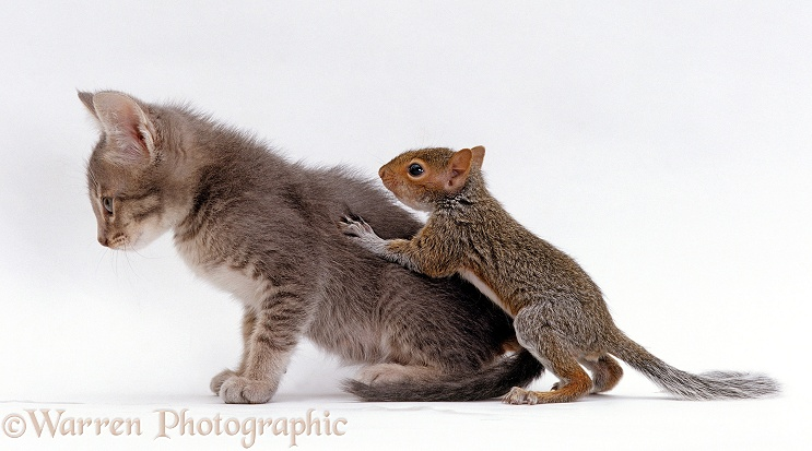 Baby Grey Squirrel climbing on grey kitten's back, white background
