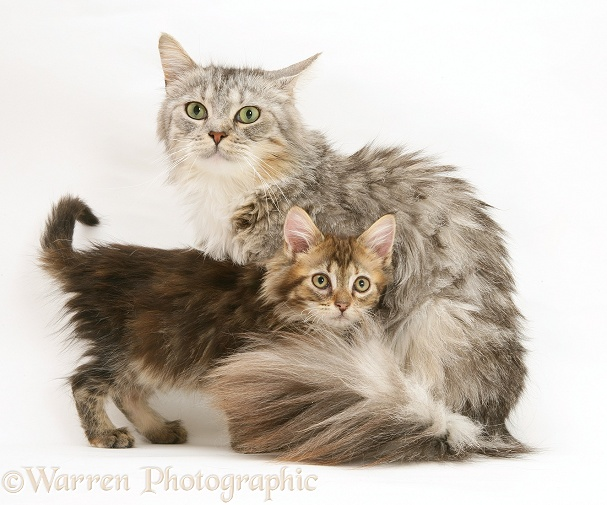 Maine Coon mother cat, Bambi, and her brown tabby kitten, white background