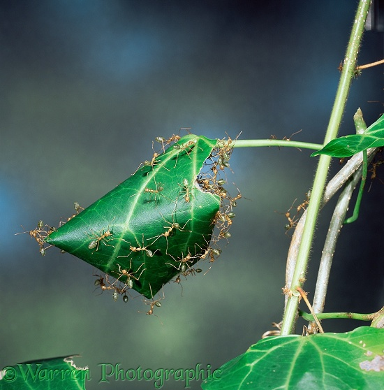 Green Tree Ants (Oecophylla smaragdina) rolling a leaf to create their nest.  Australia