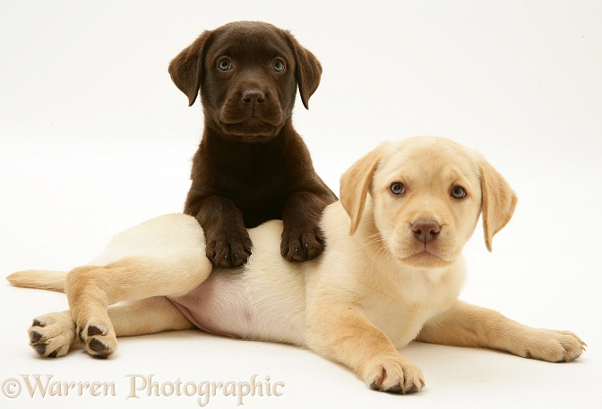 Yellow and Chocolate Retriever pups, white background