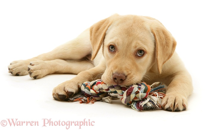Yellow Labrador Retriever pup, Millie, with ragger toy, white background