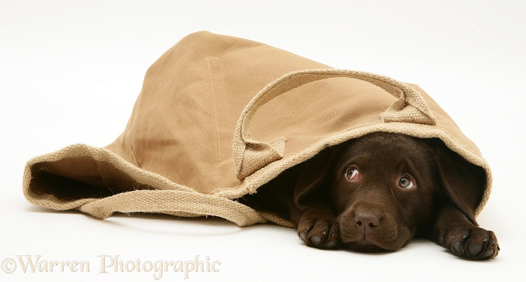 Chocolate Retriever pup in a cloth bag, white background