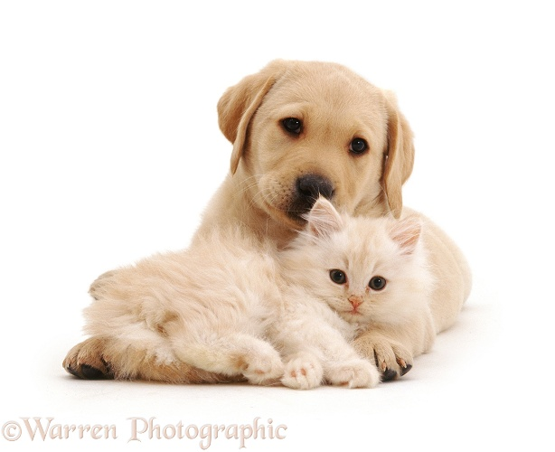 Yellow Labrador Retriever pup with fluffy cream kitten, both 7 weeks old, white background