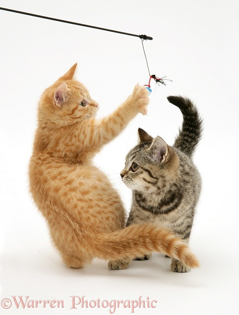 Red spotted and brown spotted British Shorthair kittens playing with a kitten fishing lure, white background