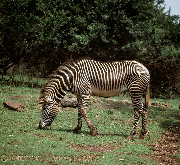 Grevy's Zebra (Equus grevyi) grazing on the fresh flush of grass after rain, northern Kenya.  Africa