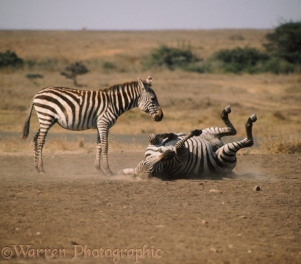Common Zebra (Equus burchelli) mare and foal at a salt lick, mare rolling in the dust.  Africa