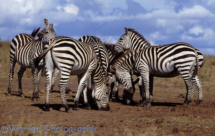 Common Zebras (Equus burchelli) savouring the earth at a salt lick.  Africa