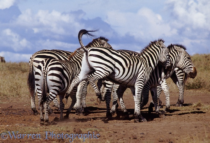 Common Zebras (Equus burchelli) showing aggressive interaction at a salt lick.  Africa